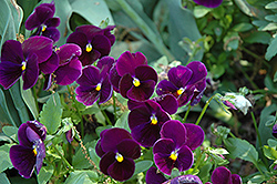 Matrix Purple Pansy (Viola 'Matrix Purple') at Martin's Home & Garden