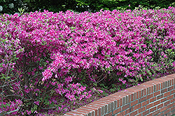 Atlanta Azalea (Rhododendron kaempferi 'Atlanta') at Martin's Home and Garden
