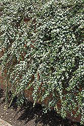 Coral Beauty Cotoneaster (Cotoneaster dammeri 'Coral Beauty') at Martin's Home and Garden