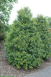Foster's Holly (Ilex x attenuata 'Fosteri') at Martin's Home & Garden