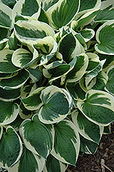 Patriot Hosta (Hosta 'Patriot') at Martin's Home & Garden
