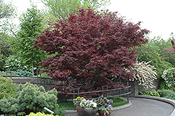 Bloodgood Japanese Maple (Acer palmatum 'Bloodgood') at Martin's Home and Garden