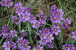 Lucerne Blue-Eyed Grass (Sisyrinchium angustifolium 'Lucerne') at Martin's Home and Garden
