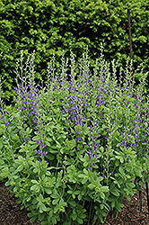 Blue Wild Indigo (Baptisia australis) at Martin's Home and Garden