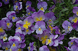 Rebel Blue and Yellow Pansy (Viola 'Rebel Blue and Yellow') at Martin's Home & Garden