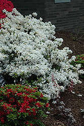 Delaware Valley White Azalea (Rhododendron 'Delaware Valley White') at Martin's Home & Garden
