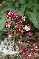 Biedermeier Red And White Columbine (Aquilegia 'Biedermeier Red And White') at Martin's Home & Garden