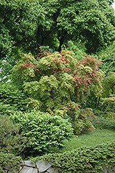 Shindeshojo Japanese Maple (Acer palmatum 'Shindeshojo') at Martin's Home & Garden