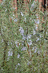 Arp Rosemary (Rosmarinus officinalis 'Arp') at Martin's Home & Garden