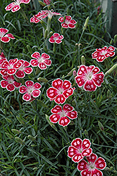 Spotty Pinks (Dianthus 'Spotty') at Martin's Home & Garden