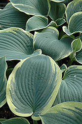 American Halo Hosta (Hosta 'American Halo') at Martin's Home and Garden