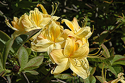 Sun Chariot Azalea (Rhododendron 'Sun Chariot') at Martin's Home and Garden