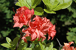 Salmon Delight Azalea (Rhododendron 'Salmon Delight') at Martin's Home & Garden