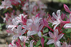 Marydel Azalea (Rhododendron 'Marydel') at Martin's Home & Garden