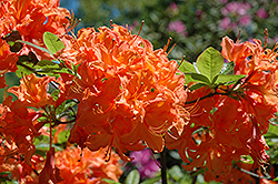 John F. Kennedy Azalea (Rhododendron 'John F. Kennedy') at Martin's Home and Garden