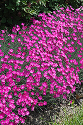 Firewitch Pinks (Dianthus gratianopolitanus 'Firewitch') at Martin's Home and Garden