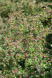 Cranberry Cotoneaster (Cotoneaster apiculatus) at Martin's Home and Garden