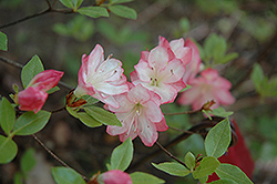 Apple Blossom Azalea (Rhododendron 'Apple Blossom') at Martin's Home and Garden