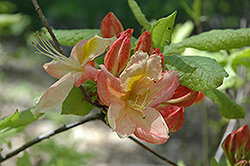 Mary Claire Azalea (Rhododendron 'Mary Claire') at Martin's Home & Garden
