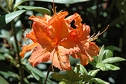 Firefly Azalea (Rhododendron 'Firefly') at Martin's Home and Garden