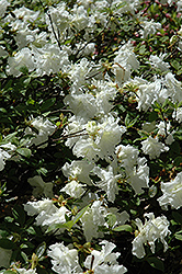 Helen Curtis Azalea (Rhododendron 'Helen Curtis') at Martin's Home and Garden