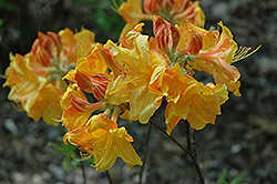 George Reynolds Azalea (Rhododendron 'George Reynolds') at Martin's Home & Garden