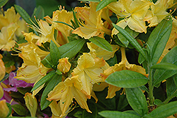 Choptank Yellow Azalea (Rhododendron 'Choptank Yellow') at Martin's Home and Garden