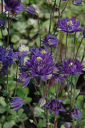 Clememtine Blue Columbine (Aquilegia vulgaris 'Clementine Blue') at Martin's Home and Garden