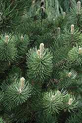 Oregon Green Austrian Pine (Pinus nigra 'Oregon Green') at Martin's Home and Garden