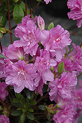 Elsie Lee Azalea (Rhododendron 'Elsie Lee') at Martin's Home & Garden