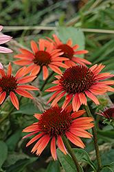 Big Sky Sundown Coneflower (Echinacea 'Big Sky Sundown') at Martin's Home and Garden