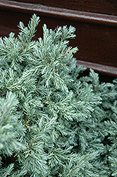 Baby Blue Moss Falsecypress (Chamaecyparis pisifera 'Baby Blue') at Martin's Home and Garden