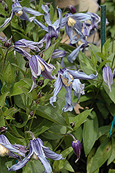 Caerulea Solitary Clematis (Clematis integrifolia 'Caerulea') at Martin's Home and Garden