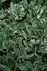 Variegated Solomon's Seal (Polygonatum multiflorum 'Variegatum') at Martin's Home and Garden