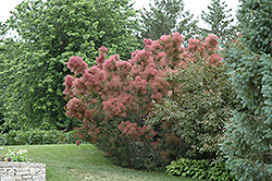 Royal Purple Smokebush (Cotinus coggygria 'Royal Purple') at Martin's Home and Garden