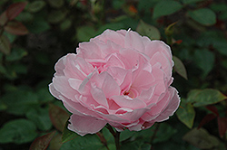 The Miller Rose (Rosa 'The Miller') at Martin's Home and Garden