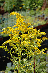 Golden Baby Goldenrod (Solidago canadensis 'Golden Baby') at Martin's Home and Garden