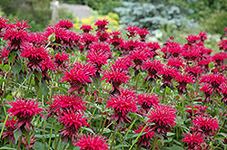 Raspberry Wine Beebalm (Monarda 'Raspberry Wine') at Martin's Home and Garden