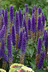 Royal Candles Speedwell (Veronica spicata 'Royal Candles') at Martin's Home & Garden