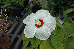 Disco Belle White Hibiscus (Hibiscus moscheutos 'Disco Belle White') at Martin's Home and Garden