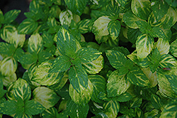 Variegated Ginger Mint (Mentha x gracilis 'Variegata') at Martin's Home & Garden
