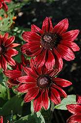 Cherry Brandy Coneflower (Rudbeckia hirta 'Cherry Brandy') at Martin's Home & Garden