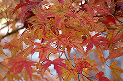 Butterfly Variegated Japanese Maple (Acer palmatum 'Butterfly') at Martin's Home & Garden