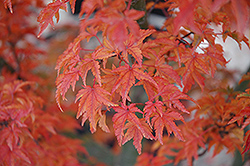 Lions Head Japanese Maple (Acer palmatum 'Shishigashira') at Martin's Home and Garden