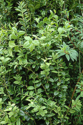Graham Blandy Boxwood (Buxus sempervirens 'Graham Blandy') at Martin's Home and Garden