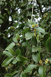 California Bay Laurel (Umbellularia californica) at Martin's Home and Garden