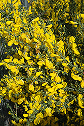 Scotch Broom (Cytisus scoparius) at Martin's Home & Garden