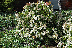 Japanese Pieris (Pieris japonica) at Martin's Home & Garden