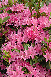 Daybreak Azalea (Rhododendron 'Daybreak') at Martin's Home and Garden