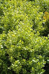 Dwarf English Boxwood (Buxus sempervirens 'Suffruticosa') at Martin's Home and Garden
